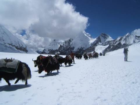 Yaks crossing the Nangpa La